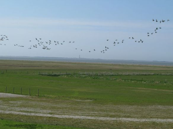 Veel ganzen die opvliegen als we langskomen.